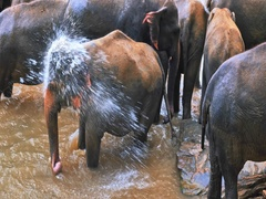 Pinnawala Elephants Orphanage for wild animals in Sri Lanka during river bathing Stock Footage