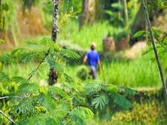Rural countryside nature background of green rice fields in Ubud Bali Indonesia Stock Footage