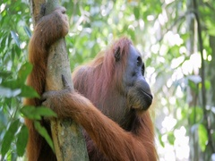 Funny adult orangutan female monkey sitting on tree in forest under sunlight Stock Footage