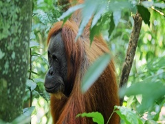 Wild Orangutan chewing leaves in evergreen Sumatra forest reserve in Indonesia Stock Footage