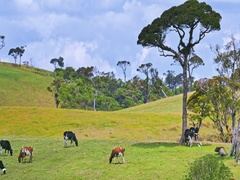 Pasture grassland on rural green hills with cows grazing on sunny summer day Stock Footage