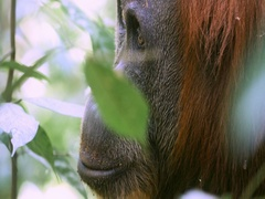 Close up face view of adult orangutan monkey in wild protected forest in Sumatra Stock Footage