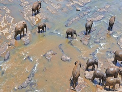 Herd of elephants aerial view with wild animals walk on river near Pinnawala Stock Footage
