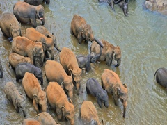 Wild elephants herd in river aerial view. Pinnawala orphanage centre Sri Lanka Stock Footage