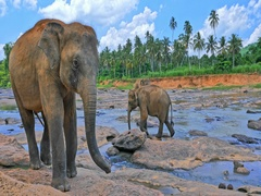 Curious wild large Sri Lankan elephant looking in camera and walks in Pinnawala Stock Footage