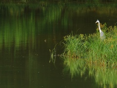 Forest reflecting in beautiful lake in morning with watchful grey heron bird Stock Footage
