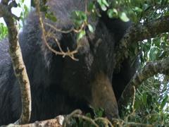 Big Sloth Bear on Palu tree in Yala forest. Wildlife safari tour in Sri Lanka Stock Footage