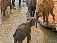 Relationship and friendship in animal world. Elephants interacting and touching Stock Footage