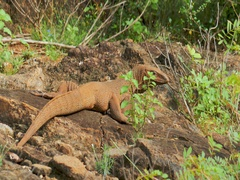 Brown Monitor Lizard warming on rocks and looking in camera in Yala Sri Lanka Stock Footage