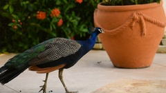 Peacock in the yard Stock Footage