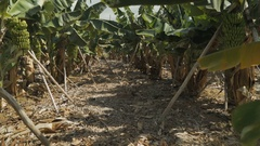 Banana plantation. Canary islands Stock Footage