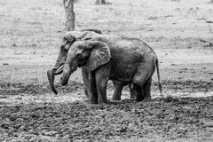 Two Elephants taking a mud bath in black and white in the Kruger National Par Stock Photos