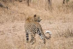 Leopard in the grass in the Sabi Sands Stock Photos