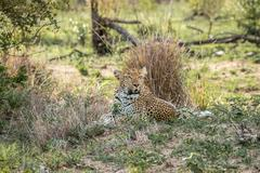 Leopard laying in the grass in the Kruger National Park Stock Photos