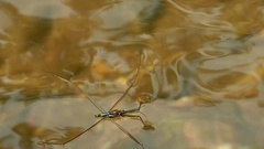 HD footage close up of Water strider in slow motion Stock Footage