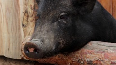 Pig Meal Requests in a Pen on the Background in Ukraine at the Zoo Stock Footage