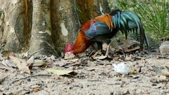 4K Footage of bantam chicken in the jungle. Stock Footage