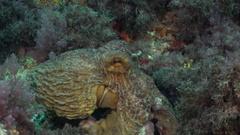 Octopus hiding between rocks Stock Footage