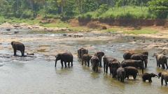 Elephants bathing in the river. Pinnawala National park, Sri Lanka. 4K, UHD Stock Footage