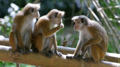 Monkeys in bamboo forest Stock Footage
