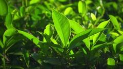 Slow motion shot of green tea plants. Stock Footage