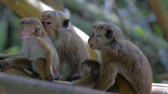 Monkey family in Royal Botanical Garden, Peradeniya, Kandy, Sri-Lanka. UHD, 4K Stock Footage