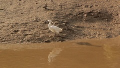 Egret bird wading on muddy riverbank and taking flight Stock Footage