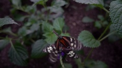 Tiger Longwing butterfly (Heliconius hecale) Stock Footage
