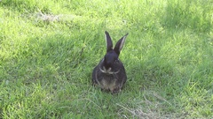 Big black rabbit with a silvery belly washes sitting on green grass Stock Footage