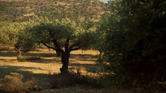 Olive tree plantation. Southern europe, Greece Stock Footage