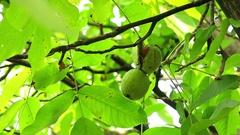 Ripen Walnuts on the Tree Branch. Wealthy Walnut Fruits Hang on Tree Branch. Stock Footage