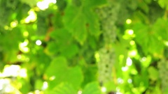 Bunches of white grapes on a branch in the sunlight. Stock Footage