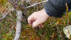 Hand collecting cranberries in the forest Stock Footage