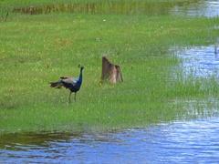 Peacock bird walks along lake water edge in green grass. Yala park in Sri Lanka Stock Footage