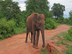 Curious large adult elephant stand on road  and look in camera in Yala Sri Lanka Stock Footage