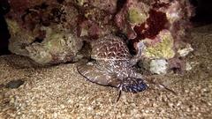 Snail giant Tonna Perdix red sea predator red sea animal night diving Stock Footage