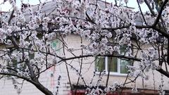 Apricot tree blossom Stock Footage