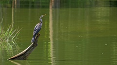 Oriental or Indian darter Anhinga Melanogaster in Yala national park Sri Lanka Stock Footage