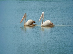 Two wild spotted billed pelicans swim in lake in Yala national park in Sri Lanka Stock Footage