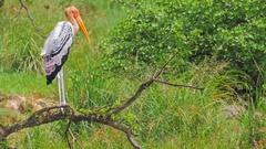 Painted Stork wildlife animals of Sri Lanka national park in wild nature Stock Footage