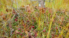 Cranberries on moss in the forest Stock Footage