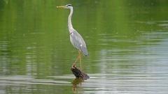 Grey Heron bird in Sri Lanka National Park slow motion fly. Wildlife animals Stock Footage