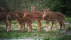 Wild Spotted Deer group under heavy rainfall in Yala national park in Sri Lanka Stock Footage