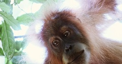 Orangutan curious face close up view looking from tree in Sumatra wild forest Stock Footage