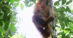 Small orangutan hanging on lianas in evergreen tropical jungle forest of Sumatra Stock Footage