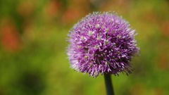 Giant Onion (Allium giganteum). Bright flower on green natural background. Sunny Stock Footage