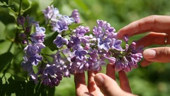 Woman found lucky flower in Lilac bush. Natural spring background with Stock Footage