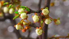White Cherry Tree Flowers Blossoms. Stock Footage