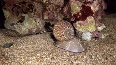 Snail giant Tonna Perdix predator red sea animal Stock Footage