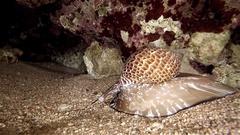Snail giant Tonna Perdix red sea predator red sea animal night Stock Footage